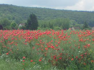 vallee ete paysage coquelicots